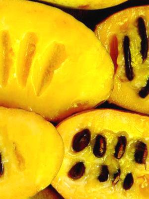 Custard apple 8-10cm Paw Paw Indian Banana  ASIMINA TRILOBA rare hardy fruit