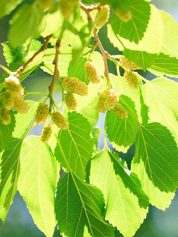 Northern Sweet White Mulberry Tree Morus Alba Monster