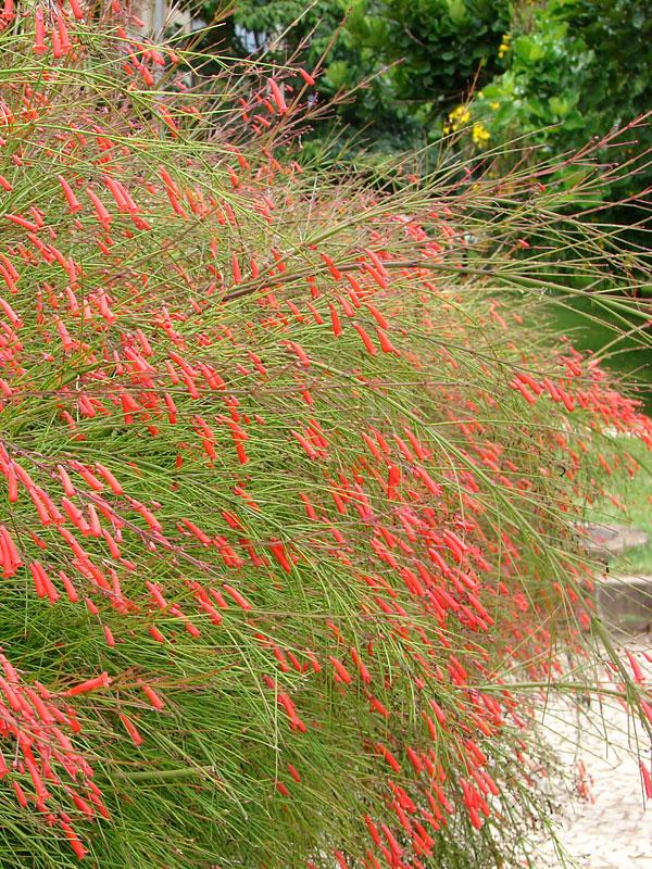 Coral Fountain Bush Russelia Equisetiformis Monster Blooms