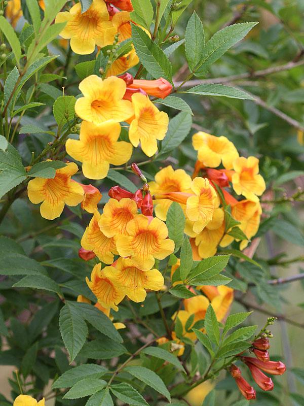 Orange Trumpet Bush Tecoma Fulva Garrocha Monster Blooms
