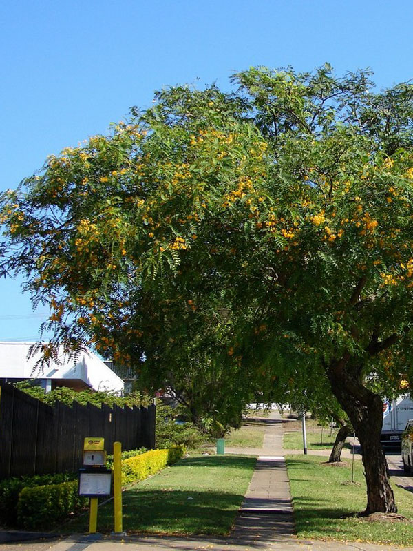 Cold Hardy Yellow Jacaranda Tipu Tree Tipuana Tipu Monster Blooms